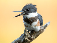 One of the many Belted Kingfisher's on an amazing day