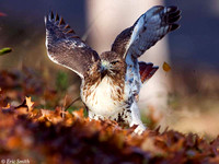 Dancing Red-Tail Hawk