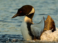 Common Loon display up close