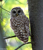"tle""Adult barred owl"