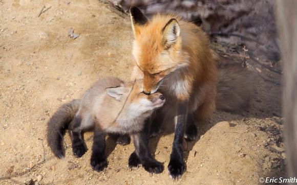 Fox with kit