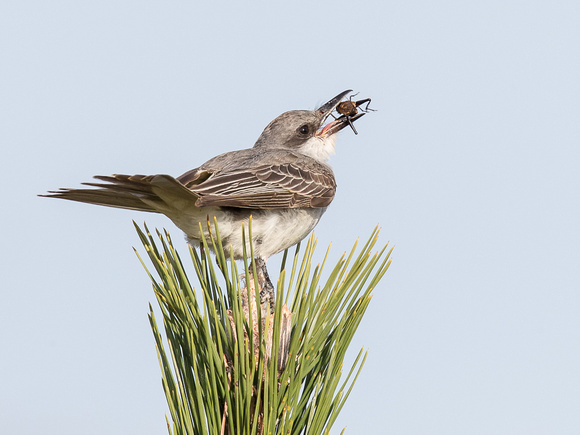 The Gray Kingbird gets breakfast