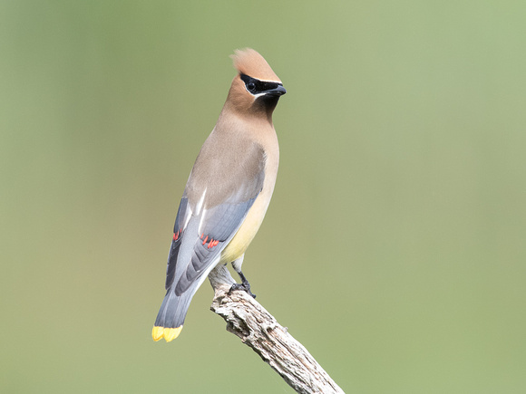 My first Cedar Waxwing at Daniel Webster MAS