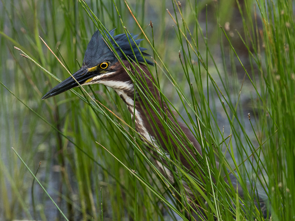 Green Heron hunting in grass