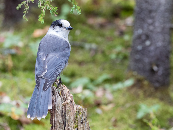 Gray Jay in Vermont