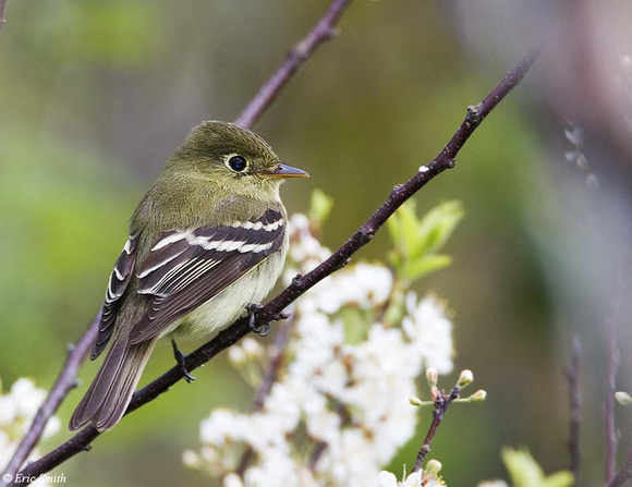 Acadian Fly-catcher
