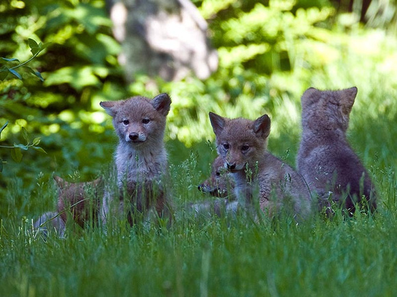 Coyote pup family