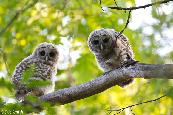 Sibling barred owls