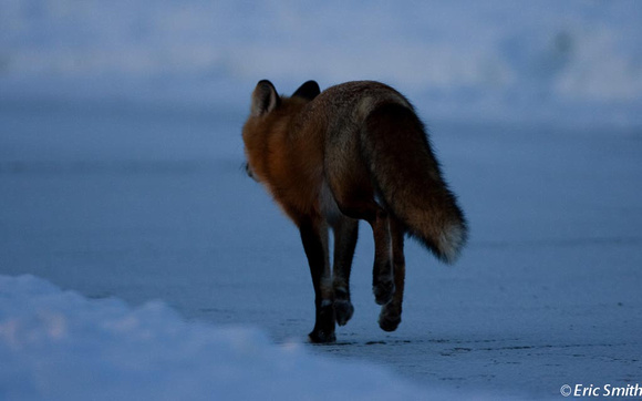 Fox running along