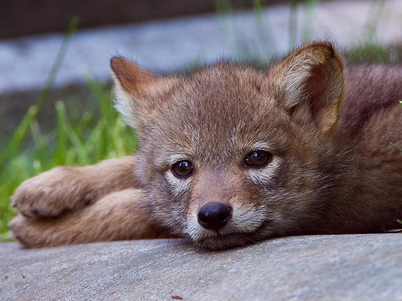Coyote pup relaxing after a hard day playing